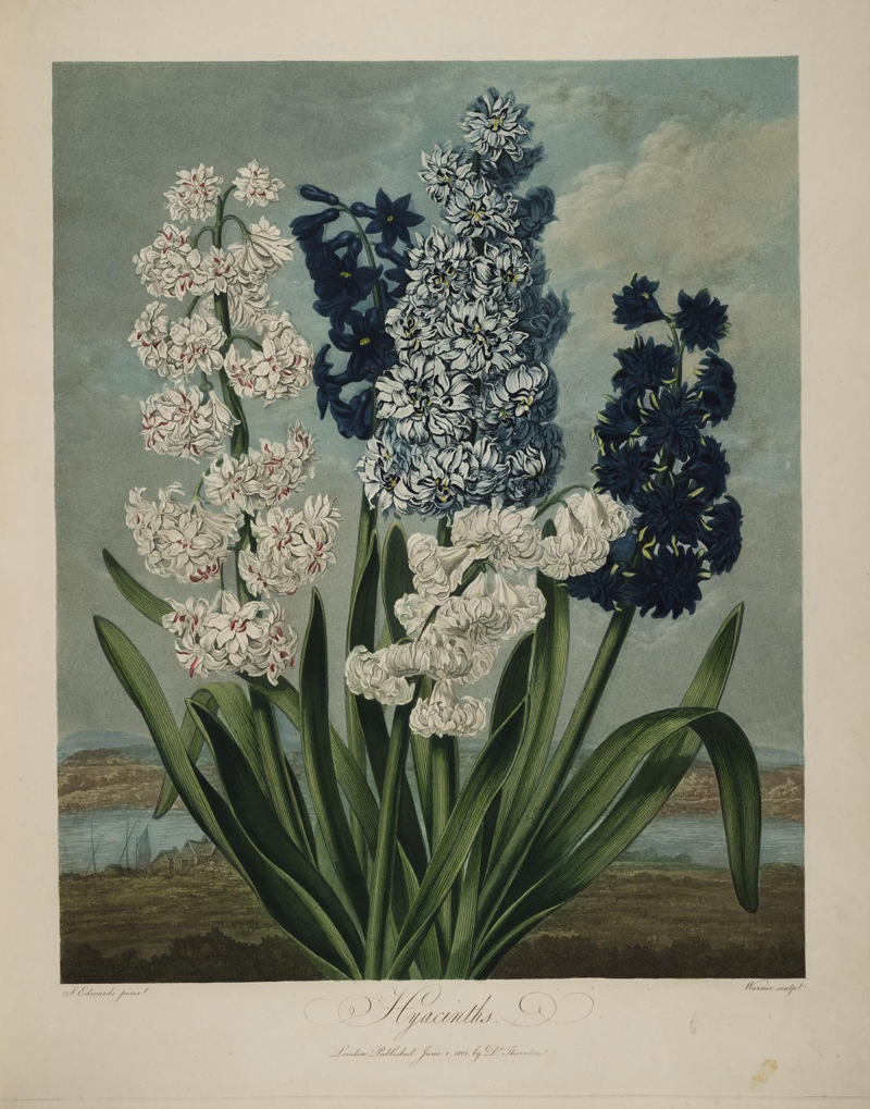 Sydenham Teast Edwards, Hyacinths - The Culturium