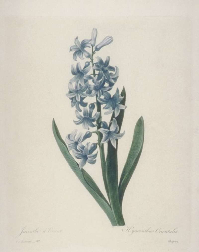 Pierre-Joseph Redouté, Hyacinth - The Culturium